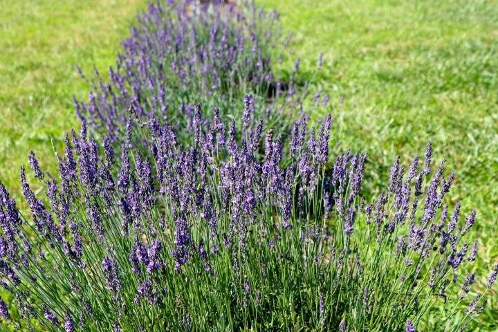 Seven Oaks LavenderFarm